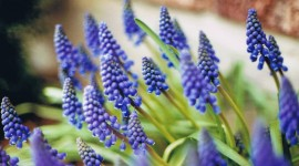 Muscari Wallpaper