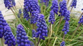 Muscari Wallpaper Download