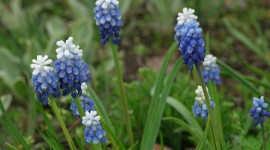 Muscari Wallpaper For Desktop