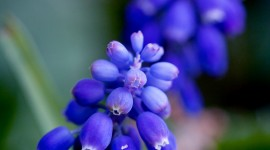 Muscari Wallpaper For IPhone Free