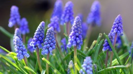 Muscari Wallpaper For PC