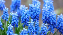 Muscari Wallpaper Free