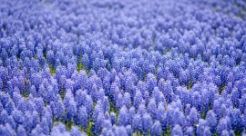 Muscari Wallpaper Full HD