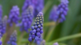 Muscari Wallpaper Gallery