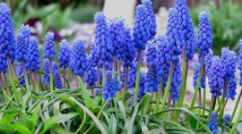 Muscari Wallpaper HQ