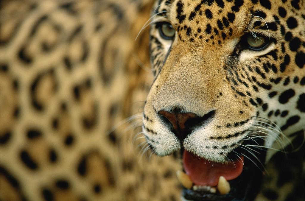 Panthera Onca wallpapers HD