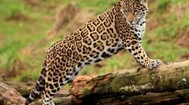 Panthera Onca Desktop Wallpaper For PC