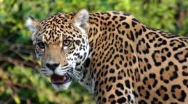 Panthera Onca Photo