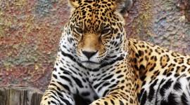 Panthera Onca Photo Download#1