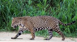 Panthera Onca Photo Free