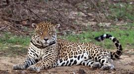 Panthera Onca Photo#1