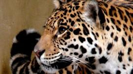 Panthera Onca Wallpaper