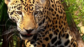 Panthera Onca Wallpaper For IPhone