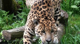 Panthera Onca Wallpaper For IPhone#1