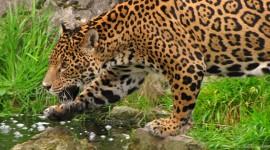 Panthera Onca Wallpaper Free