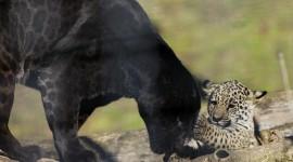 Panthera Onca Wallpaper Full HD