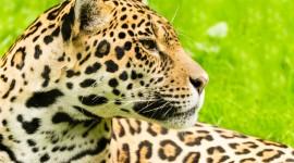 Panthera Onca Wallpaper Gallery