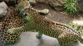 Panthera Onca Wallpaper HQ