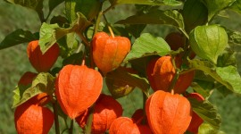 Physalis Wallpaper For IPhone Download