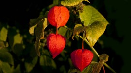Physalis Wallpaper Full HD
