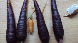 Purple Carrot Wallpaper Download