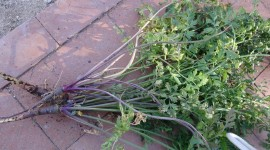 Purple Carrot Wallpaper Download Free