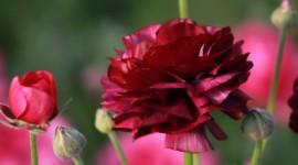 Ranunculus Wallpaper Download Free