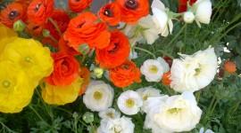 Ranunculus Wallpaper Free