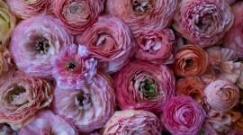 Ranunculus Wallpaper HD