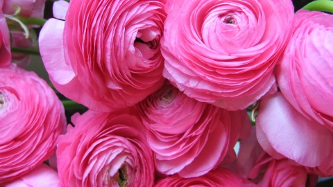 Ranunculus wallpapers high quality