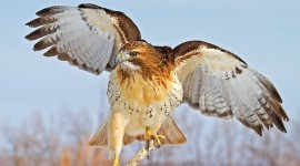 Red Hawk Photo