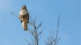 Red Hawk Photo Free