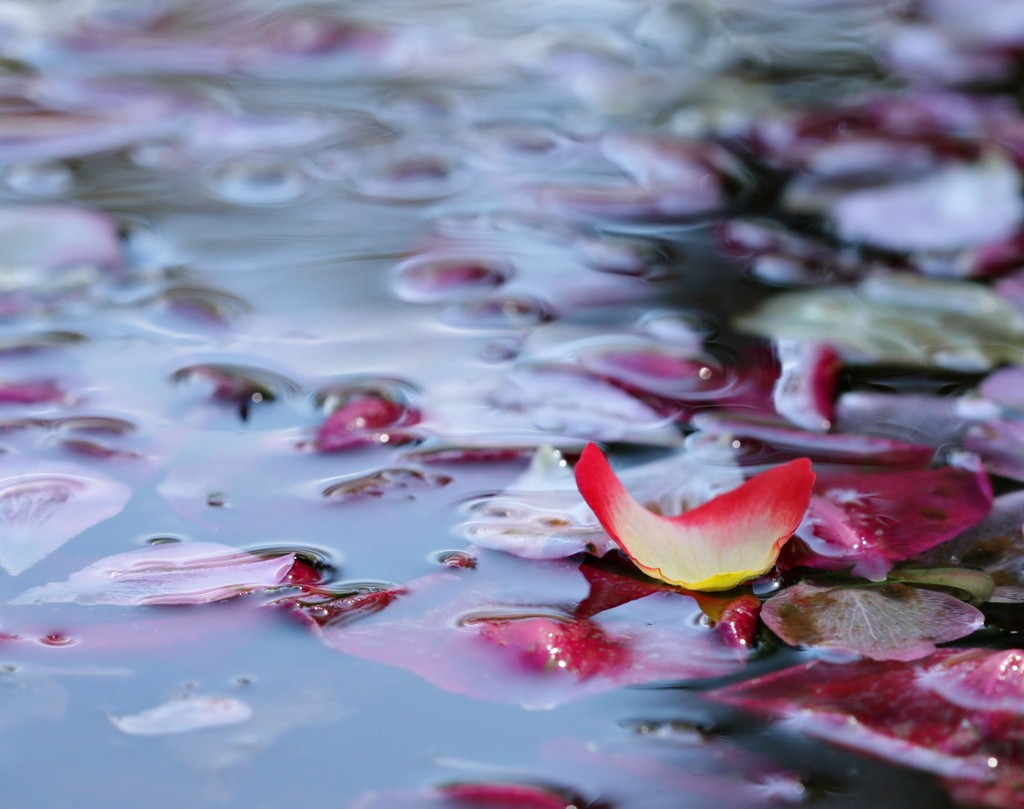 Rose Petals In Water wallpapers HD