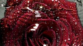 Rose Petals In Water Wallpaper For IPhone#1