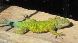 The Emerald Lizard Desktop Wallpaper HD