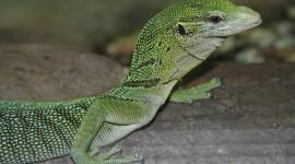 The Emerald Lizard Photo