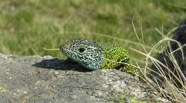 The Emerald Lizard Wallpaper For PC