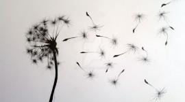White Dandelion Desktop Wallpaper