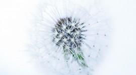 White Dandelion Photo Download