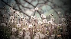 White Dandelion Photo Free