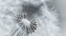 White Dandelion Wallpaper 1080p