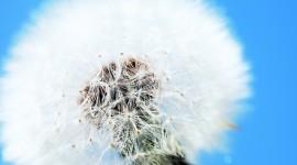 White Dandelion Wallpaper