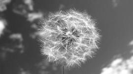 White Dandelion Wallpaper Download