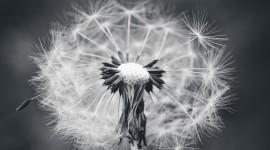 White Dandelion Wallpaper For IPhone