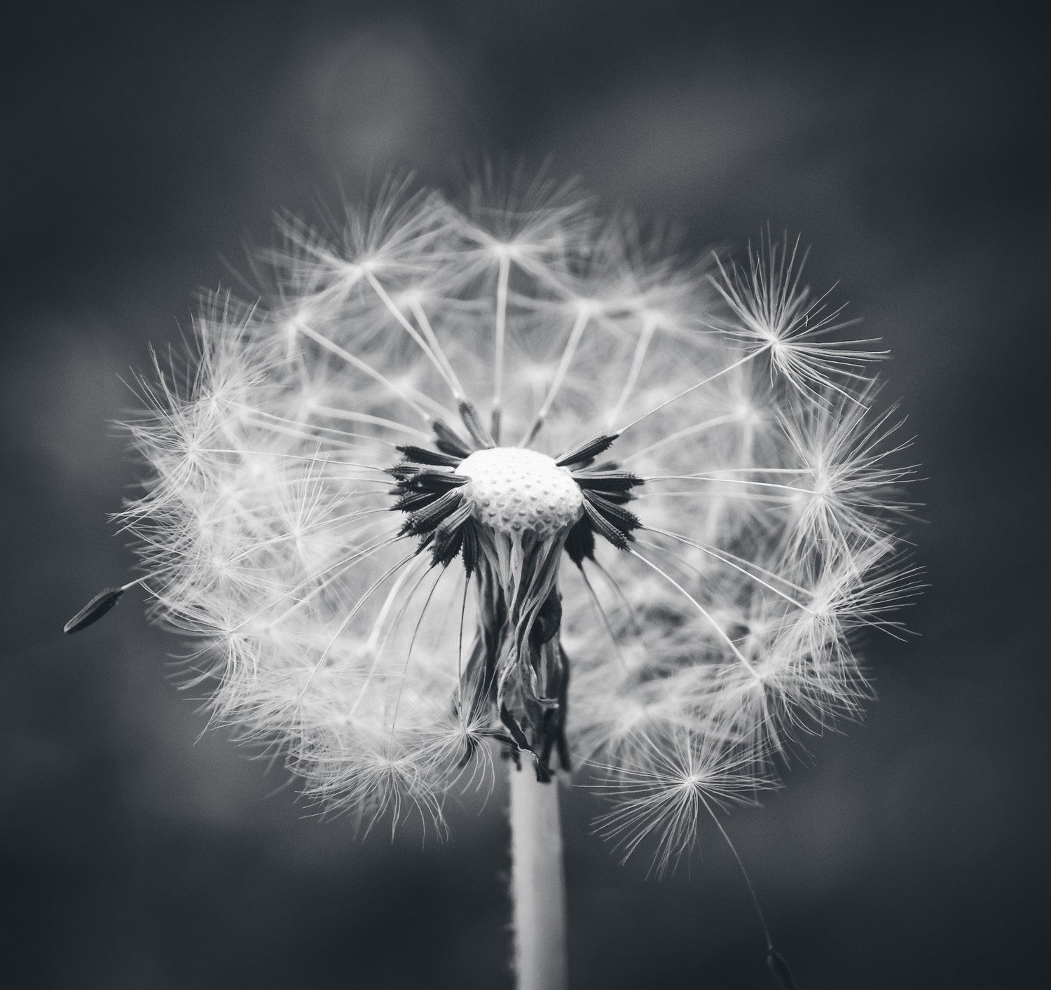 White dandelion wallpapers high quality download free - Dandelion hd wallpapers 1080p ...