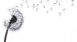 White Dandelion Wallpaper For Mobile