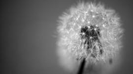 White Dandelion Wallpaper Free