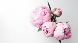 4K Bouquet Of Peonies Photo Free