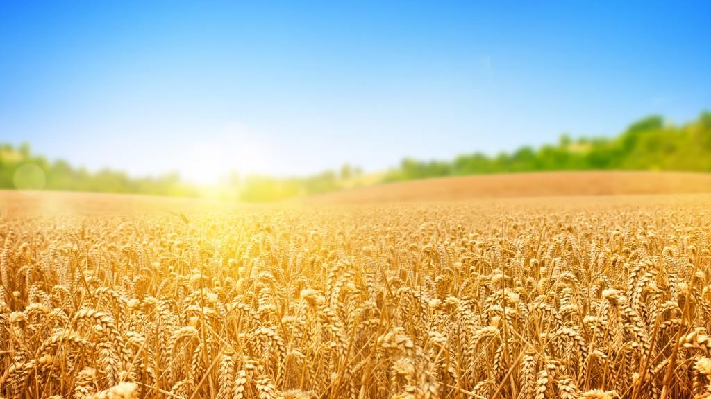 4K Grain Field wallpapers HD
