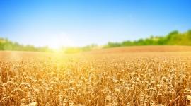 4K Grain Field Best Wallpaper